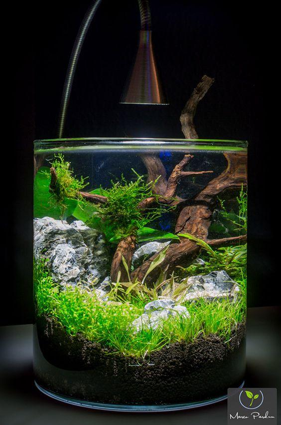 Betta tank ideas joy studio design gallery best design for Lifespan of a betta fish in captivity