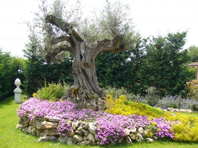 Abbellire un albero di ulivo