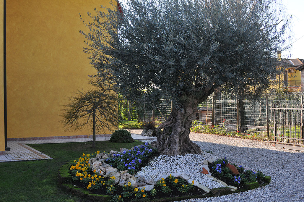Piccolo Giardino Con Ulivo  Abbellire un albero di ulivo ecco splendidi  esempi per