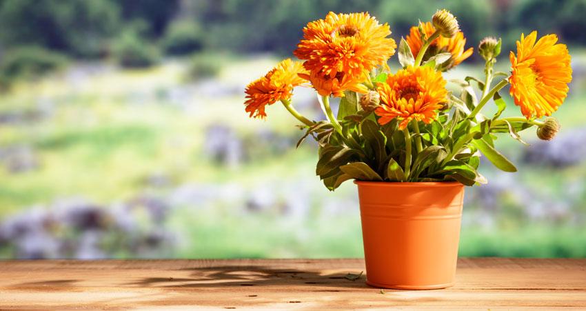 Calendula in vaso, bella ed anche una pianta antizanzare.