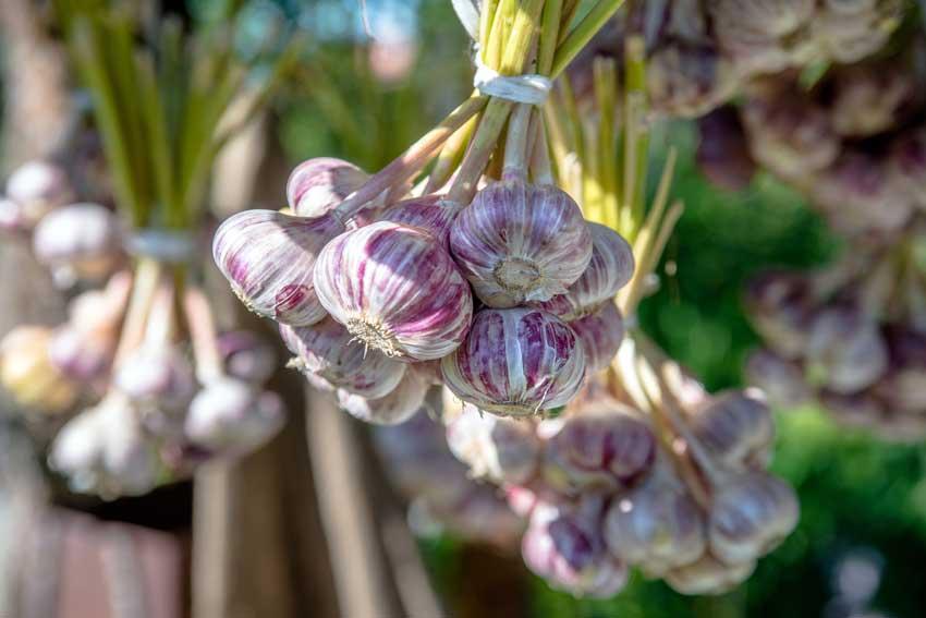 aglio è un ottima pianta per allontanare le zanzare.