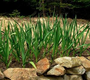 plantes anti moustiques en voici 8 cultiver en pot ou dans votre jardin. Black Bedroom Furniture Sets. Home Design Ideas