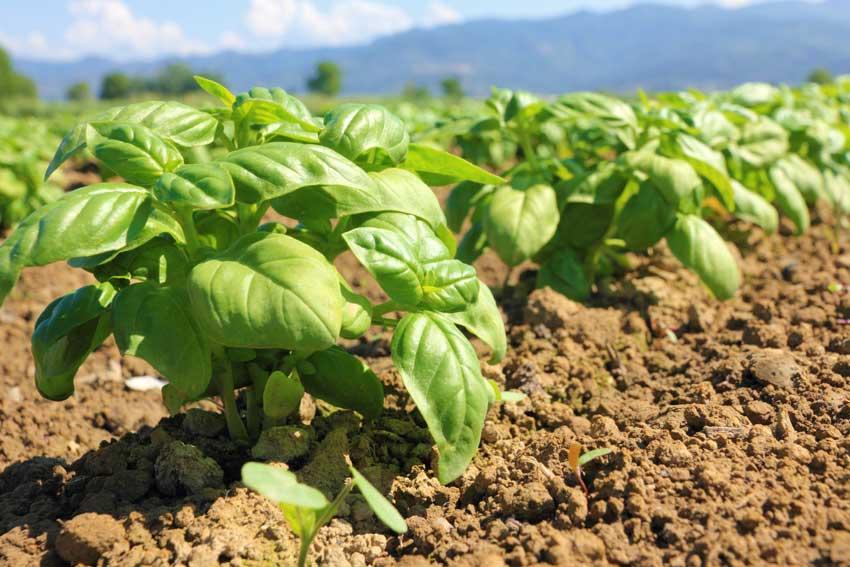 il basilico è una pianta antizanzare.