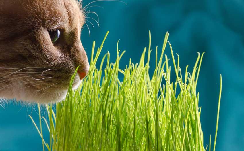 erba gatta, piace molto ai gatti e allontana le zanzare.