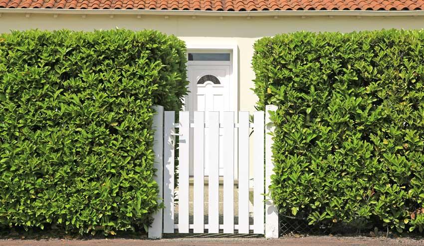 Siepe da giardino con piante di Lauro con cancello in legno bianco.