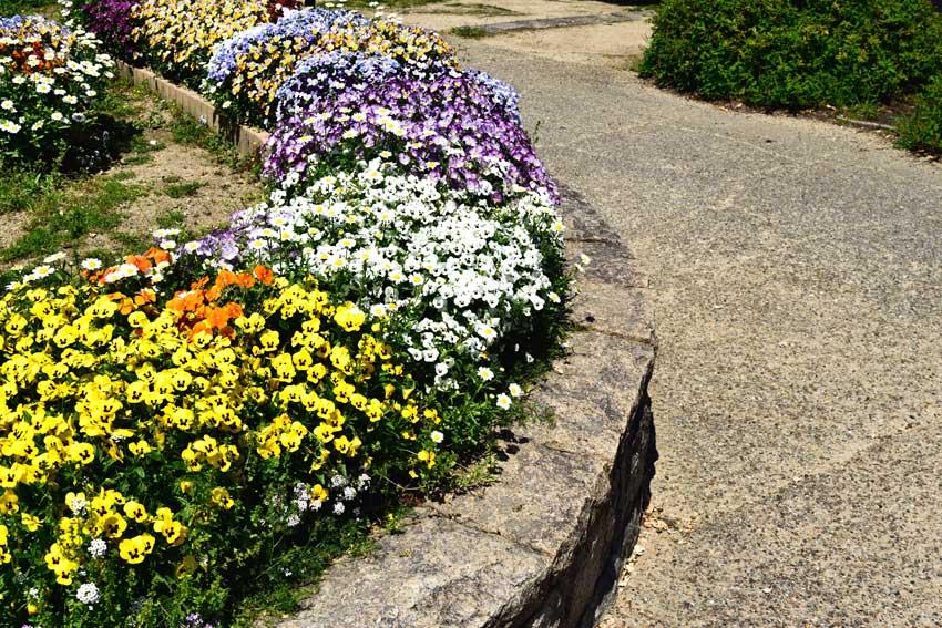 aiuola da giardino con muretto in pietra, fiori gialli, bianchi e viola.