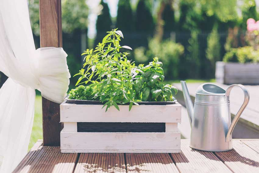 piantine di basilico in una cassetta di legno bianca.