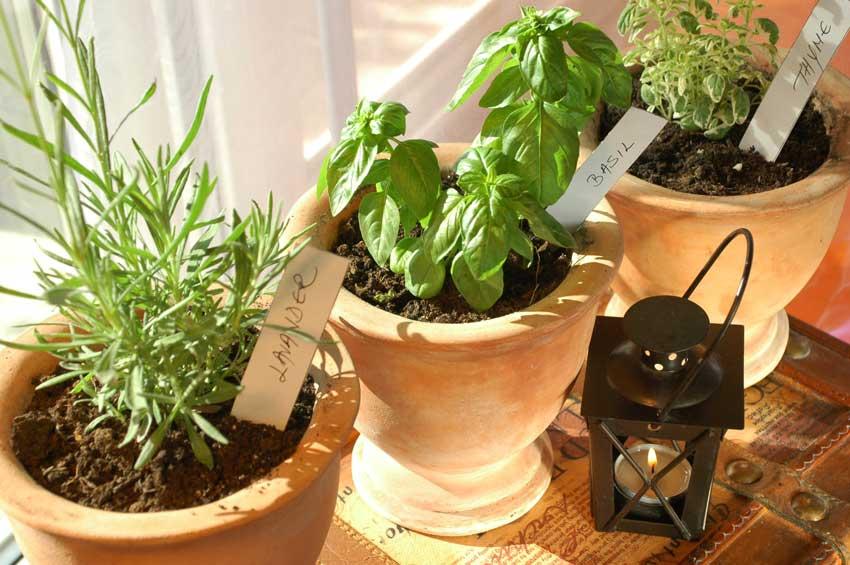 basilico, lavanda e timo coltivati in un vaso di terracotta.