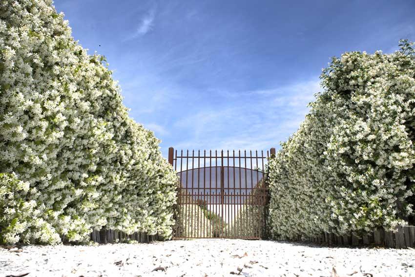 ingresso con cancello e siepe di gelsomino.