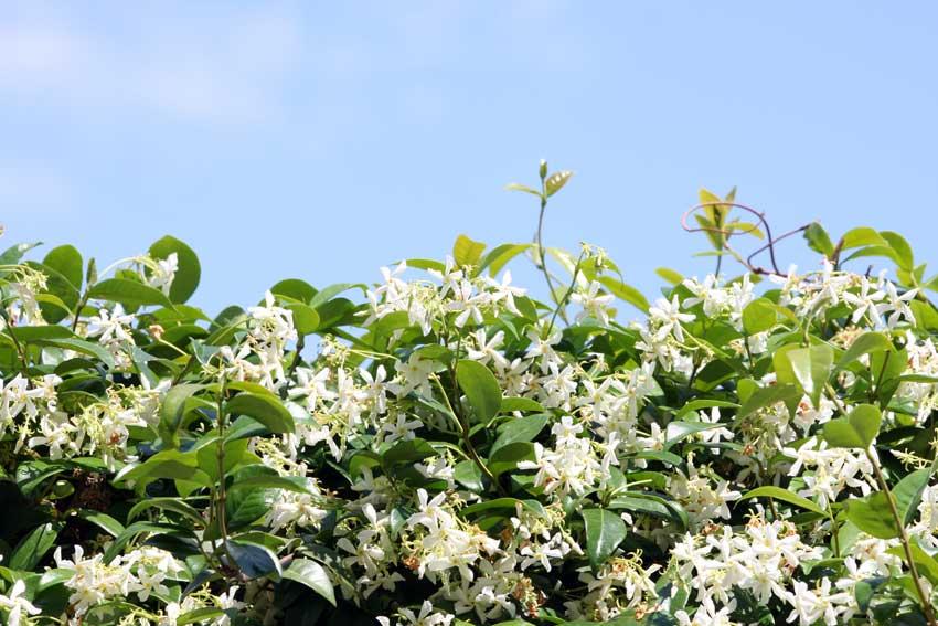 siepe di gelsomino fiorita.