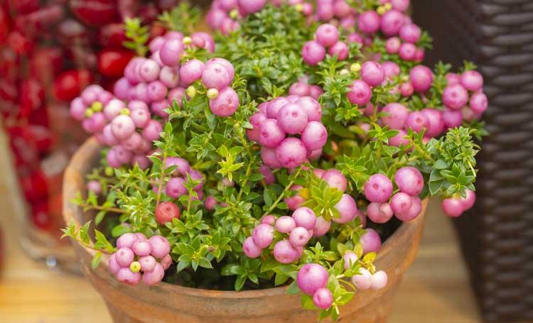La pianta Pernezia è perfetta come fiori da balcone in autunno.