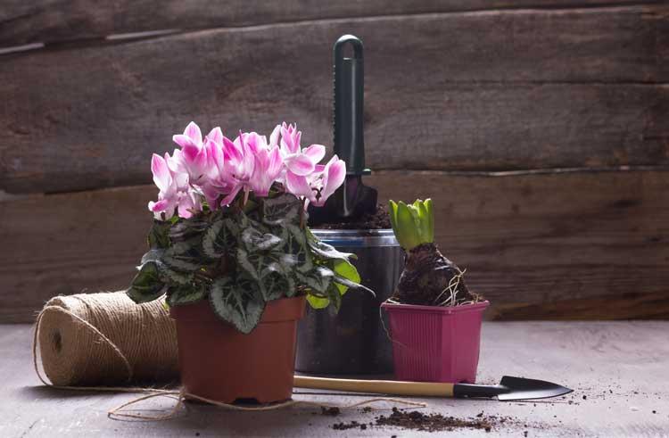 Ciclamino in vaso, questi fiori sono ideale per decorare il balcone in autunno.
