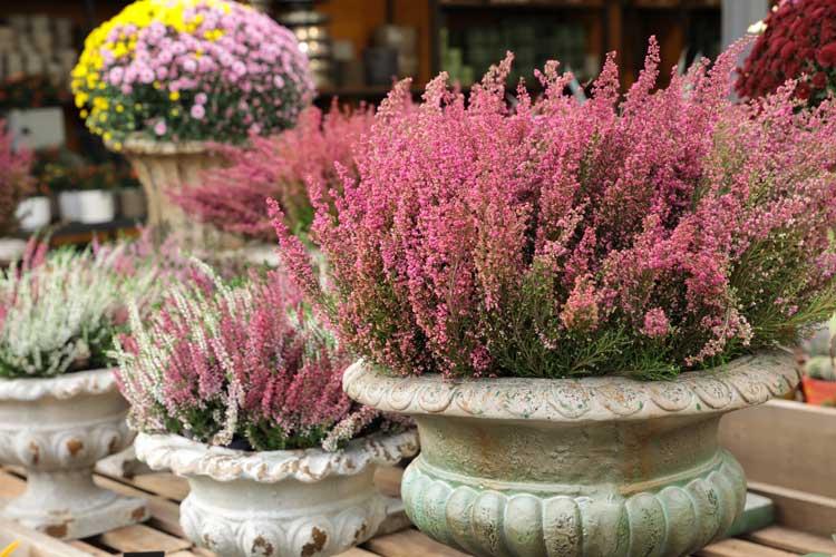 Fiori Erica in vaso per colorare il giardino durante l'autunno.