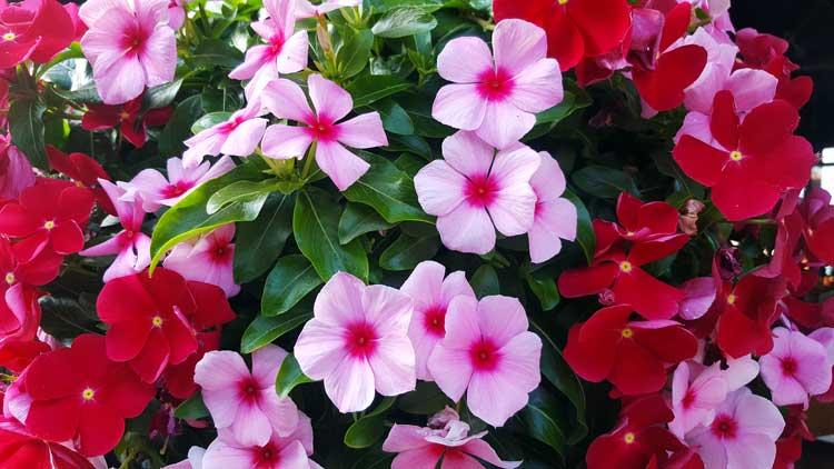Vinca pianta sempreverde ideale per la stagione autunnale.