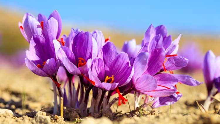 La Violetta è un fiore autunnale, bellissima per decorare il balcone.