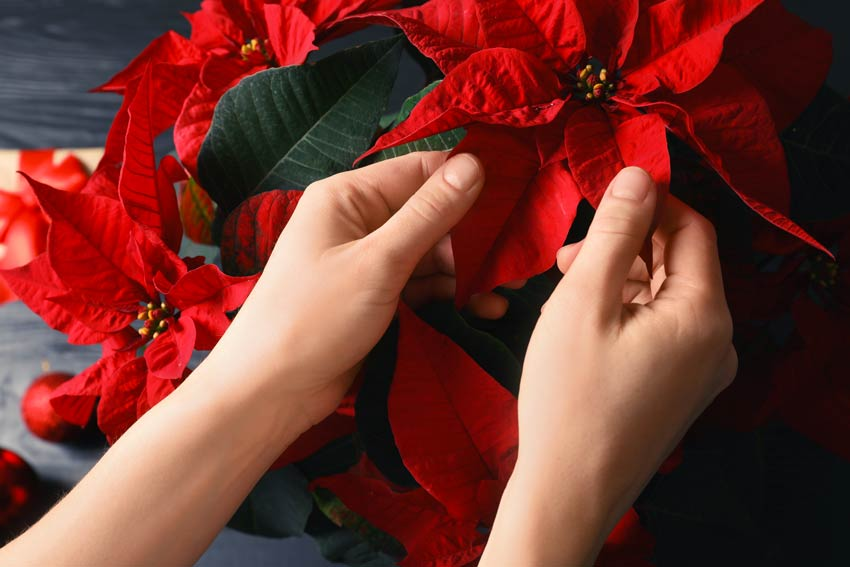 Come curare la Poinsettia la pianta natalizia.
