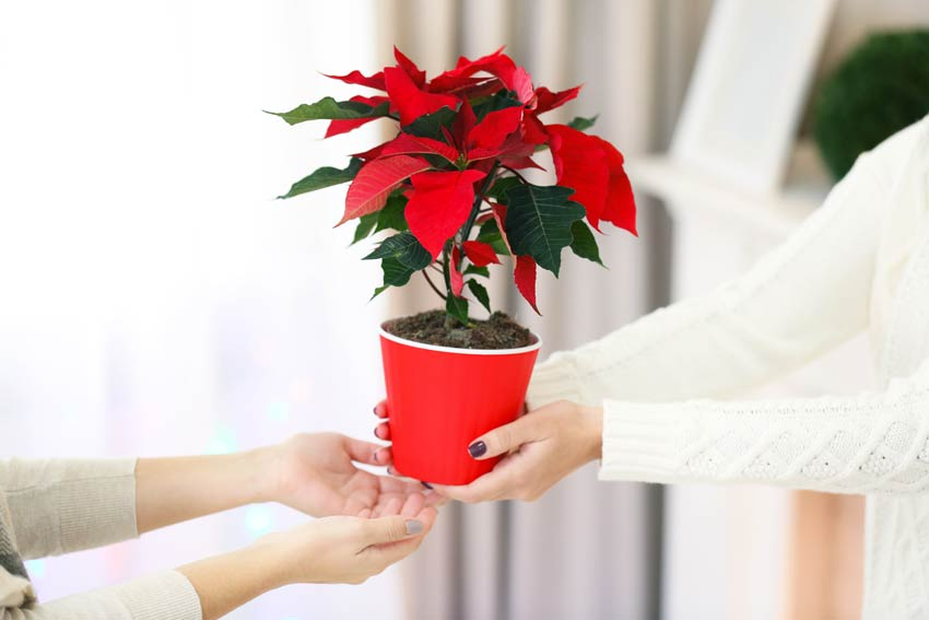 Regalare pianta natalizia, la stella di Natale.