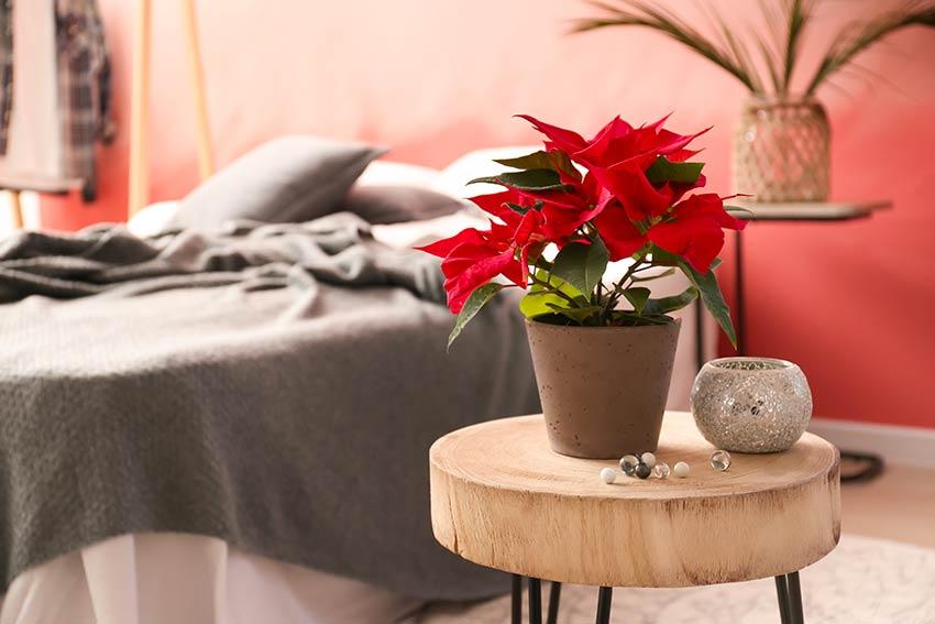 Pianta Poinsettia in camera da letto su un tronco in legno.