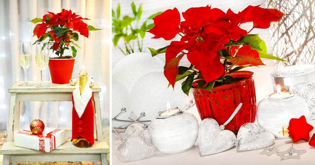 idee per decorare con la pianta stella di Natale.