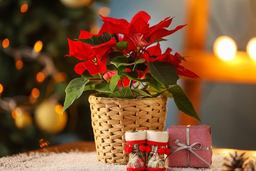 Stella di Natale in un vaso in vimini.