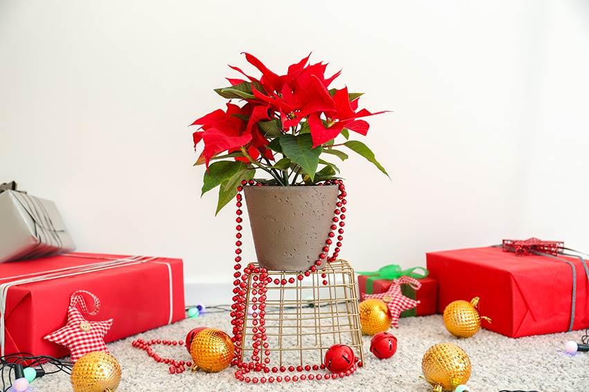 Decorare casa con una pianta natalizia.