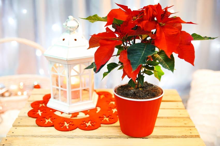 Pianta Poinsettia con lanterna natalizia.