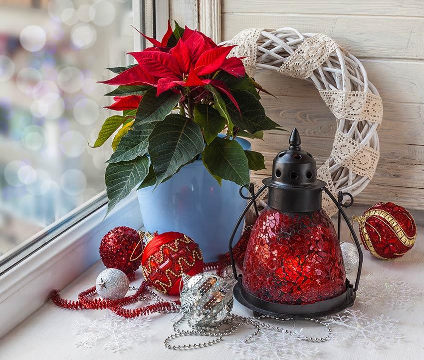 Angolo di casa con la pianta stella di Natale in vaso.