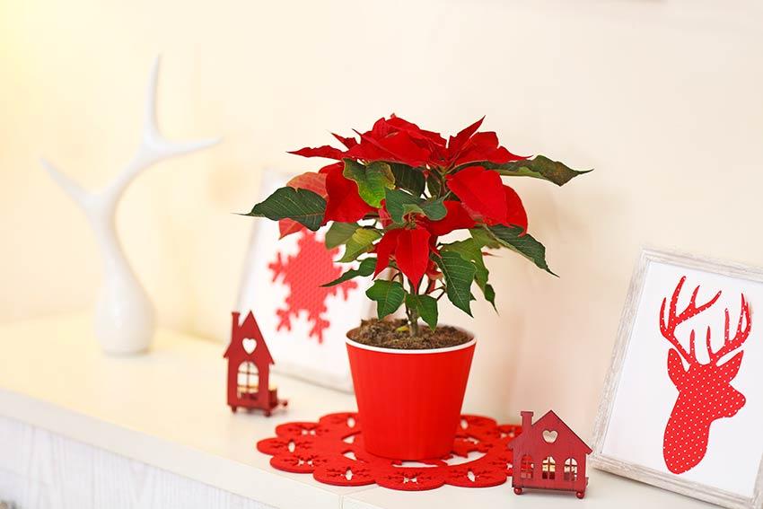 Bella Poinsettia in un vasetto rosso, ideale per decorare durante il Natale.