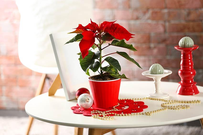 Stella di Natale in vaso poggiato su un tavolo rotondo.