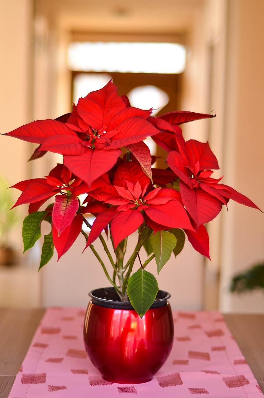 Pianta di Natale in un bel vaso rosso.