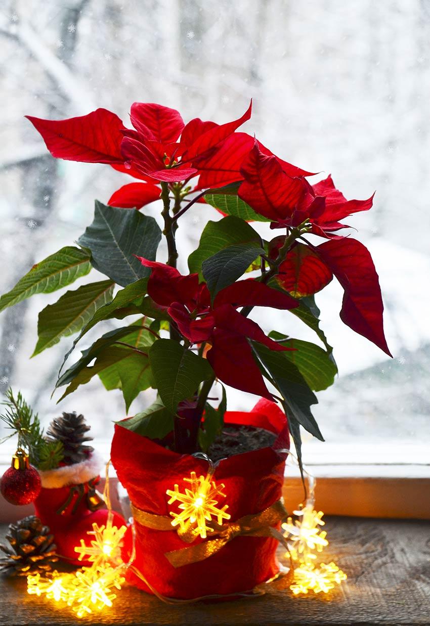 Pianta Poinsettia decorata con lucette natalizie.