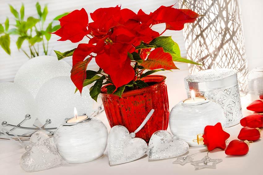 Pianta natalizia in una decorazione Shabby.