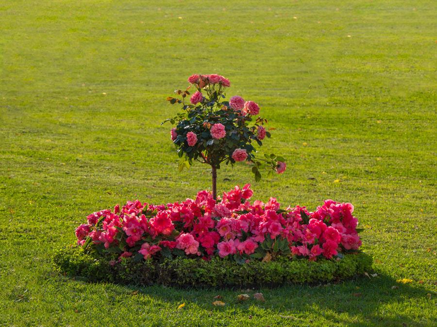 Magnifica aiuola di rose.
