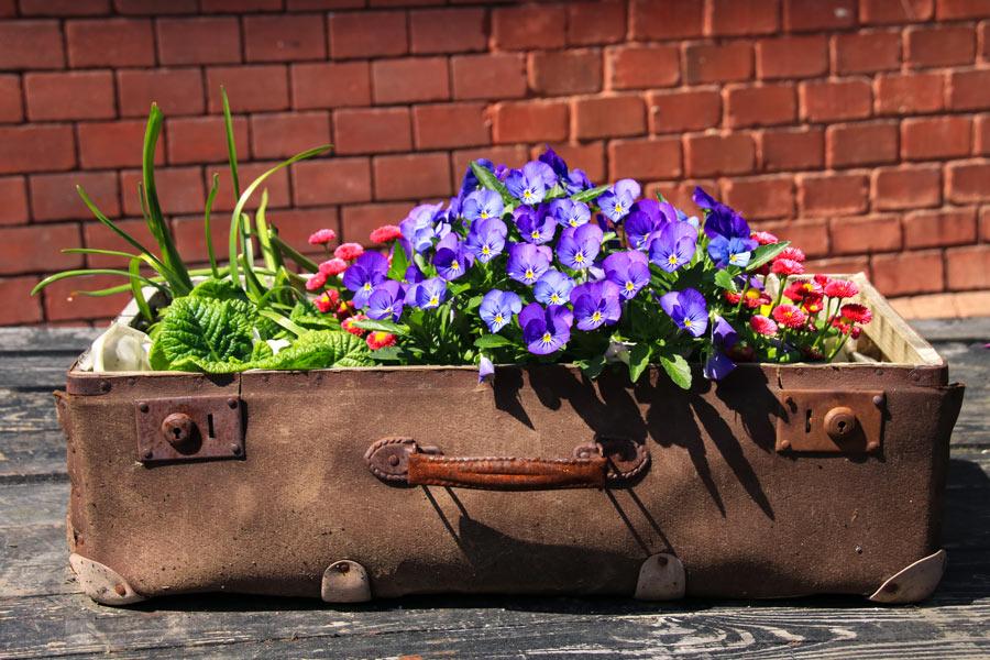 Una vecchia valigia aperta diventata fioriera.