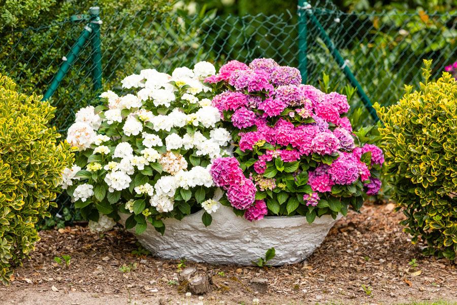 Bel vaso da giardino con fiori di 2 colori.