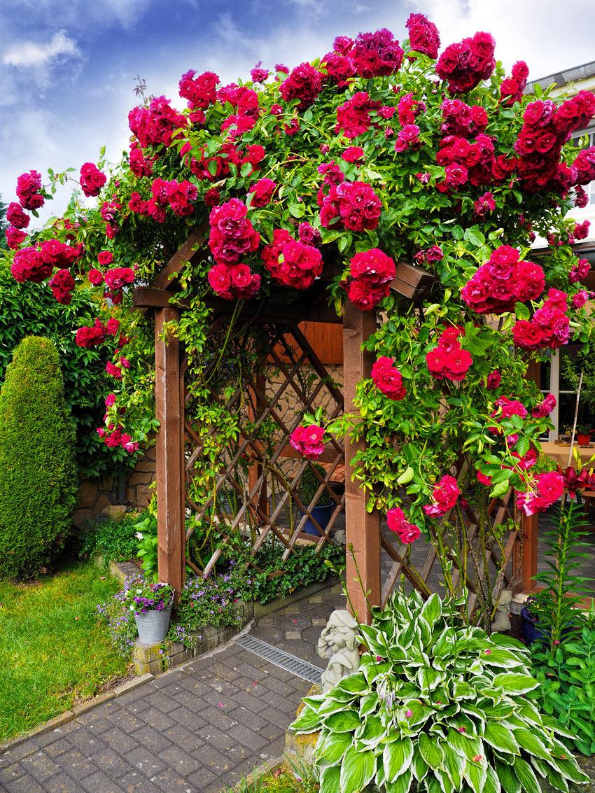 Splendida pergola in legno con rose rampicanti rosse.