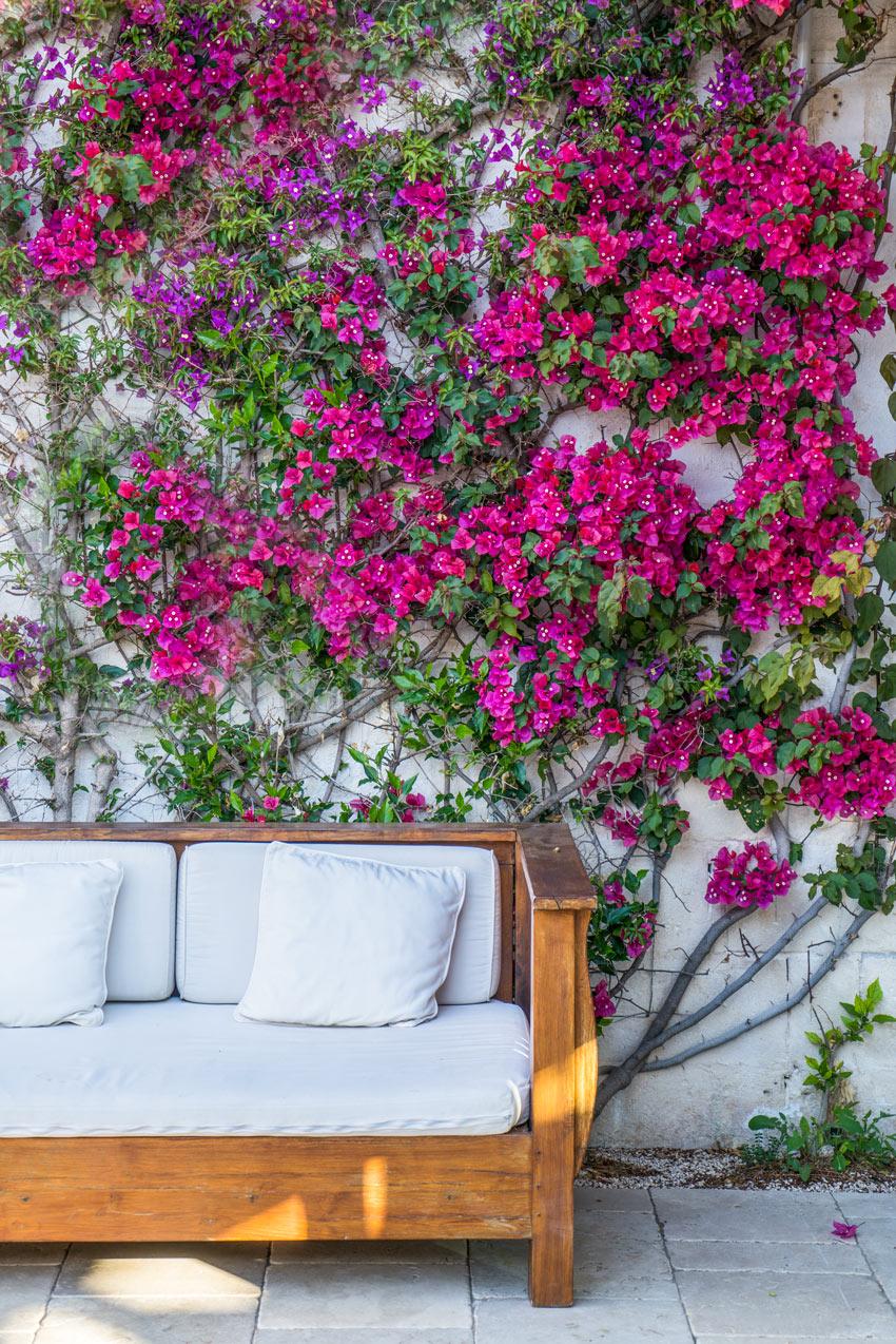Rampicanti Che Crescono All Ombra bouganville: per un giardino dal profumo mediterraneo! 13