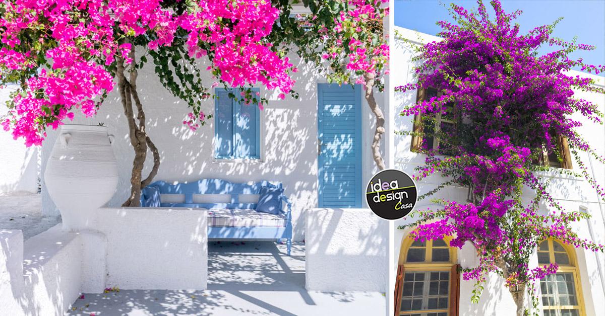 Bouganville: per un giardino dal profumo mediterraneo