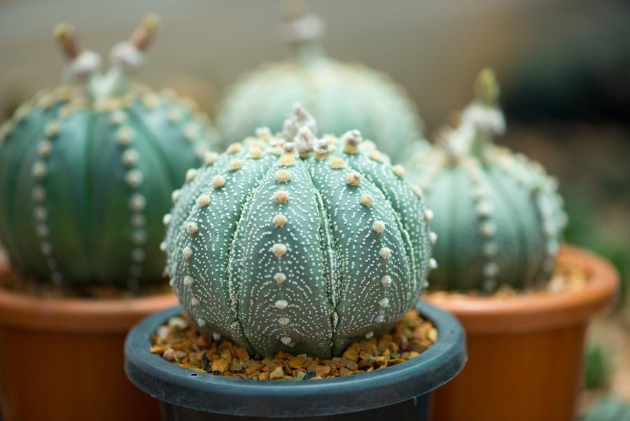 Cactus tondo in vaso.