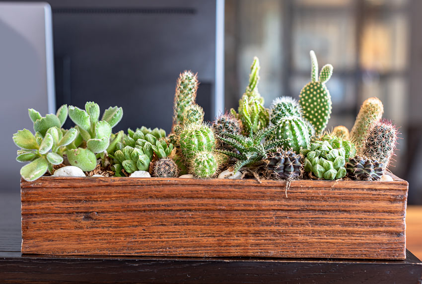 Cassetta di legno fioriera con mini cactus e piantine grasse.