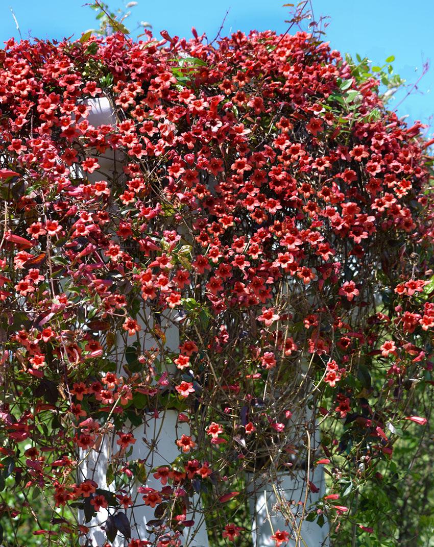 Bignonia Capredata rampicante in giardino.