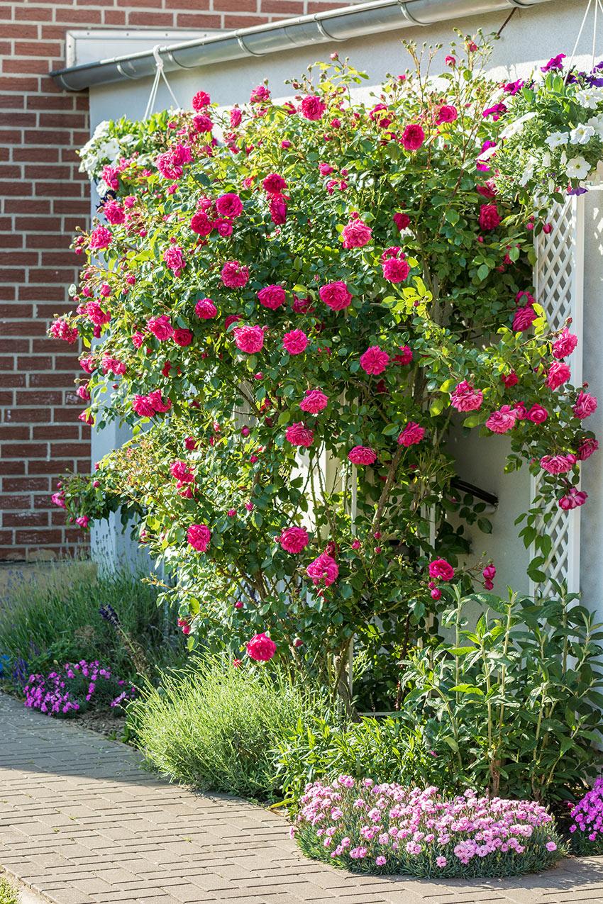 Foto di un giardino con delle rose rampicanti a parete.