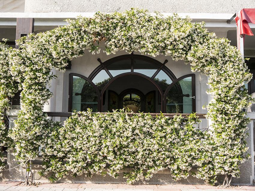 Arco decorativo realizzato con gelsomino intorno ad una finestra.