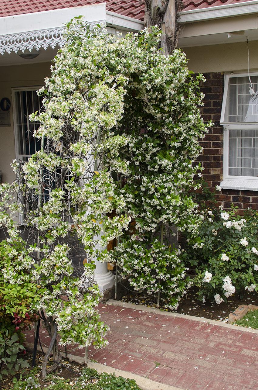 Arco da giardino con gelsomino, pianta rampicante.