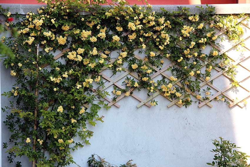 Rose gialle rampicanti su muro esterno casa.
