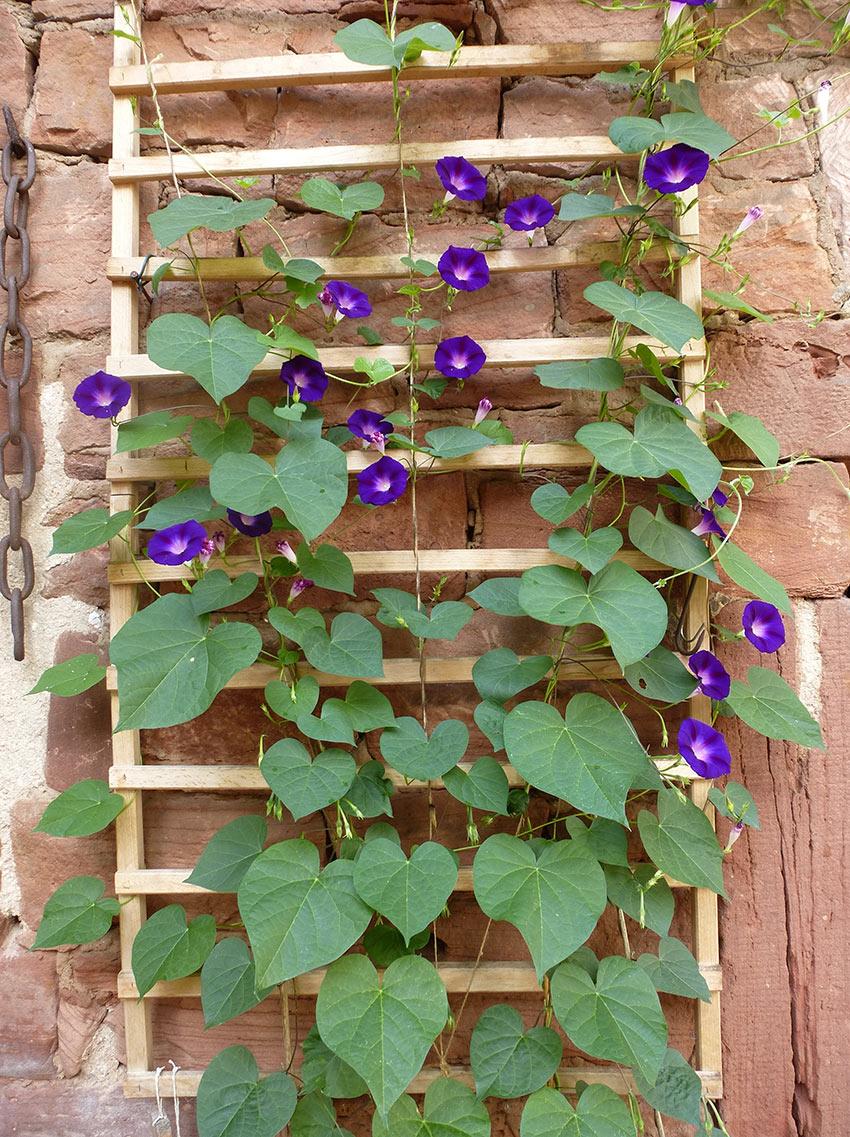piante rampicanti idee per l'esterno.