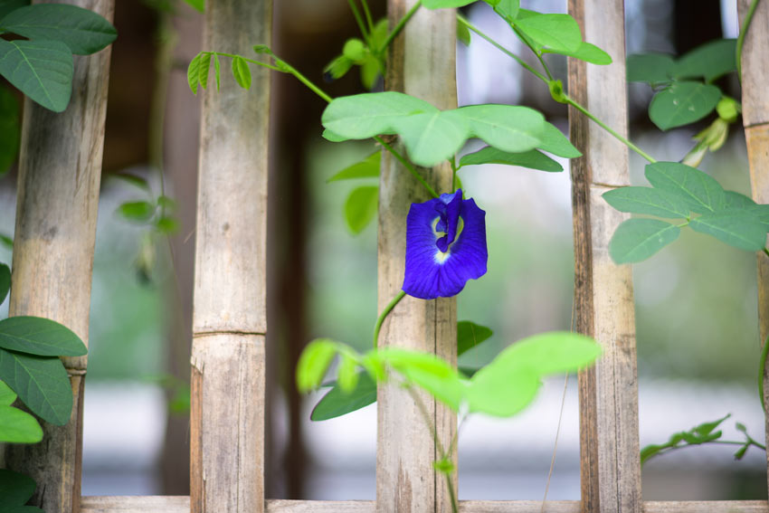 Clitoria Blu piante rampicanti