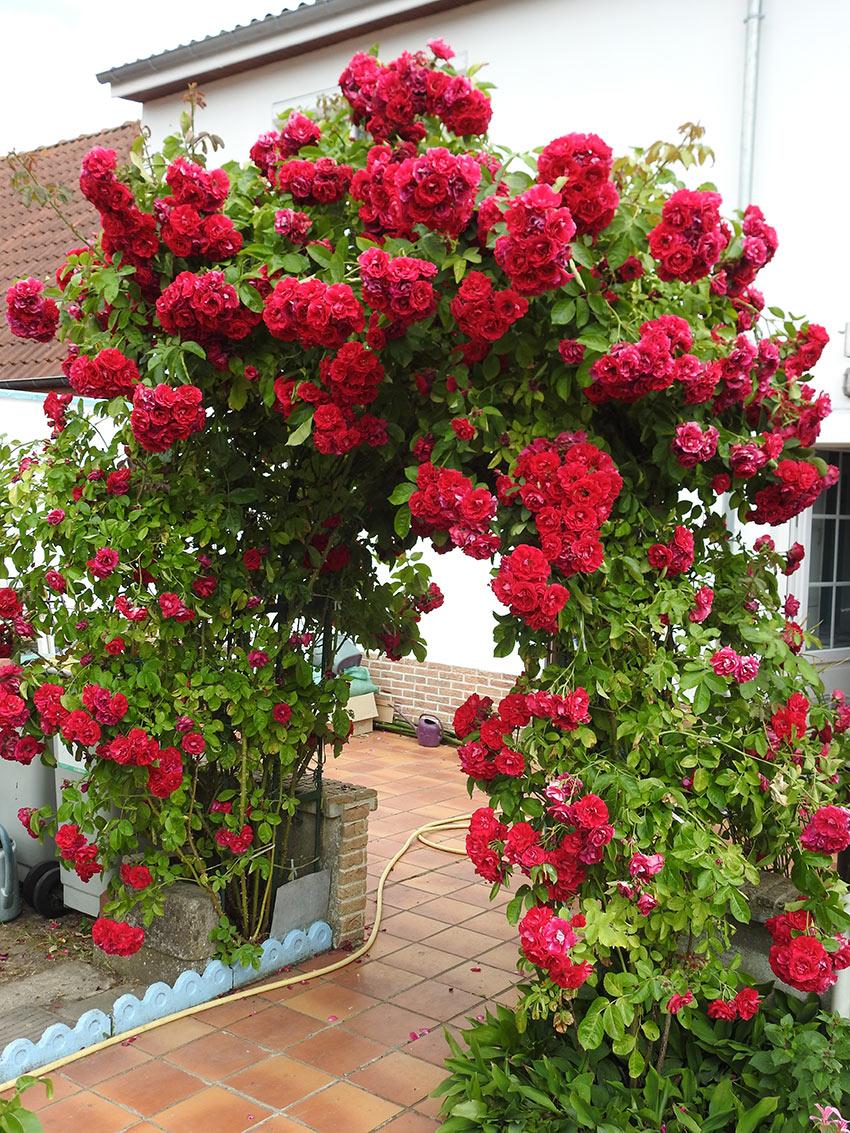 Arco in giardino con rose rampicanti.