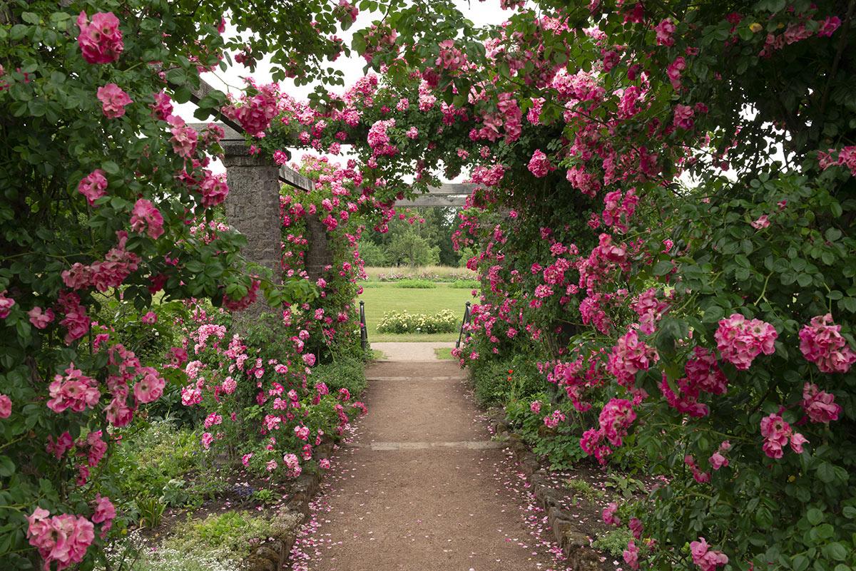 Bellissimo passaggio tra le rose in giardino.