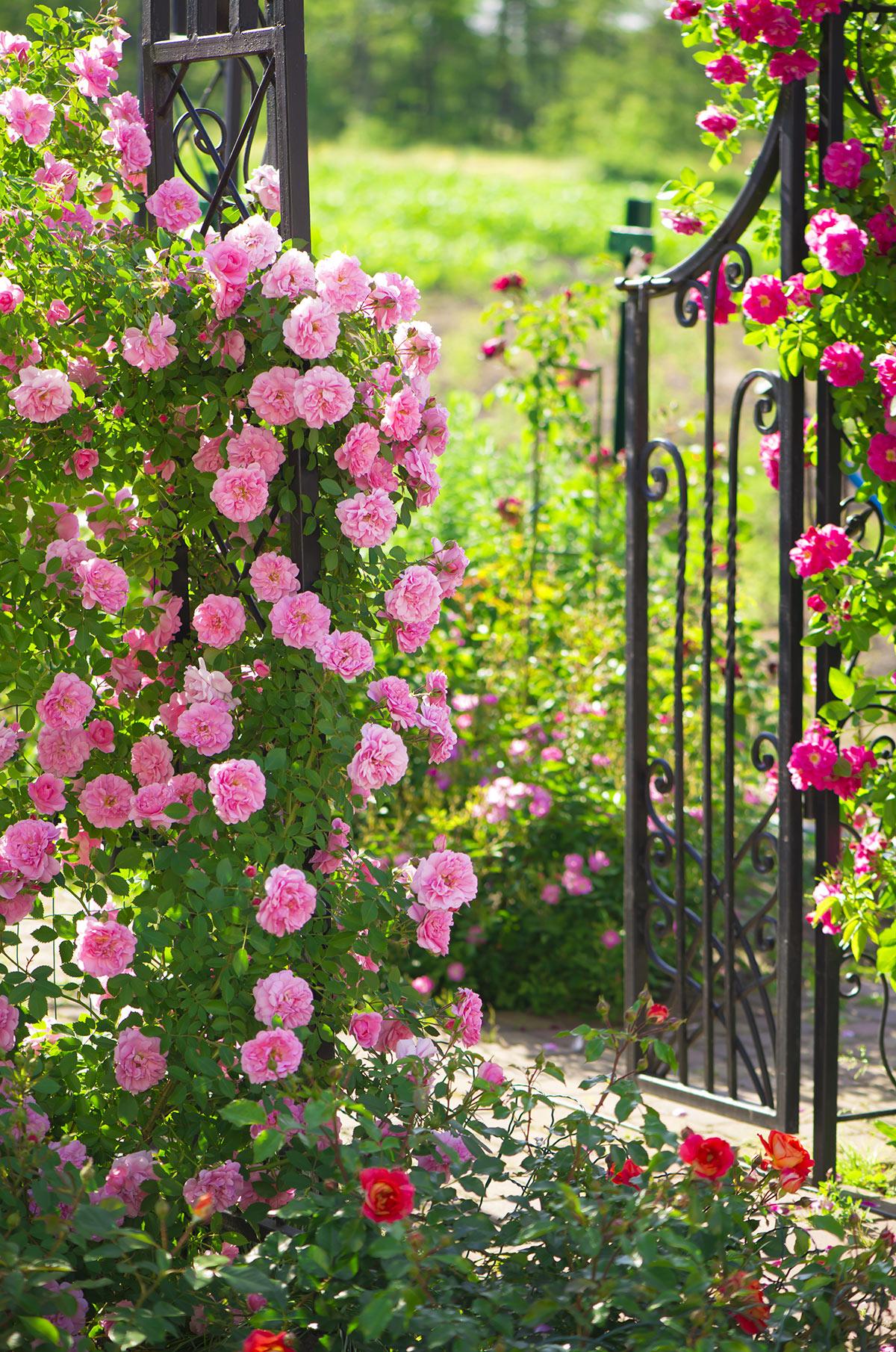 Cancello in ferro decorato con una torre di rose.